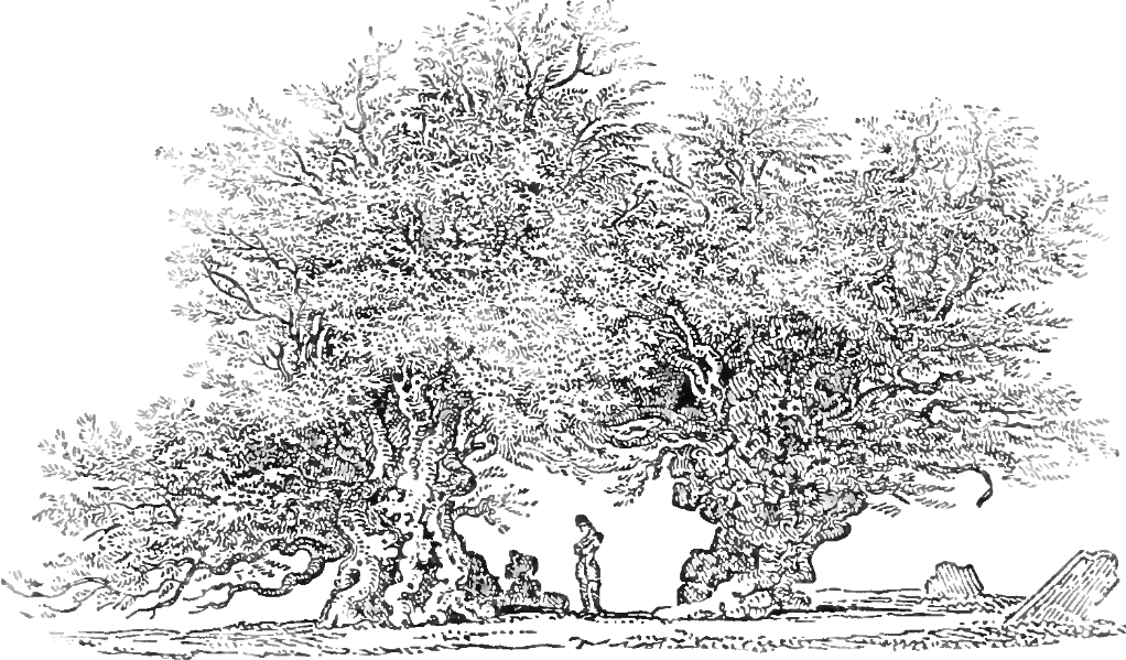 Age of Ancient Welsh Yew Tree Discovered