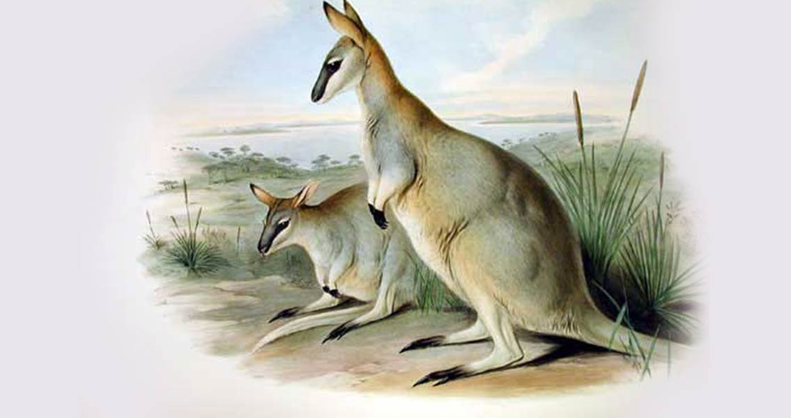 Prehistoric Kangaroos Were Too Large to Hop