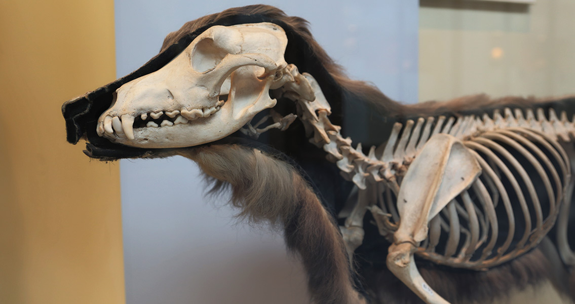 Early European Diet May Have Included Dog Meat