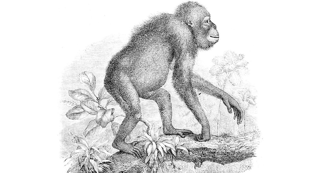 Apes and Orangutans Shed Light on the Origin of Language