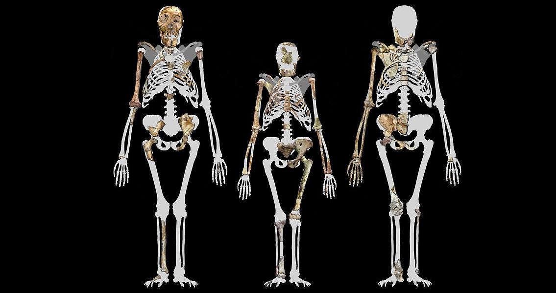 Hominin Vs Human Skeletons
