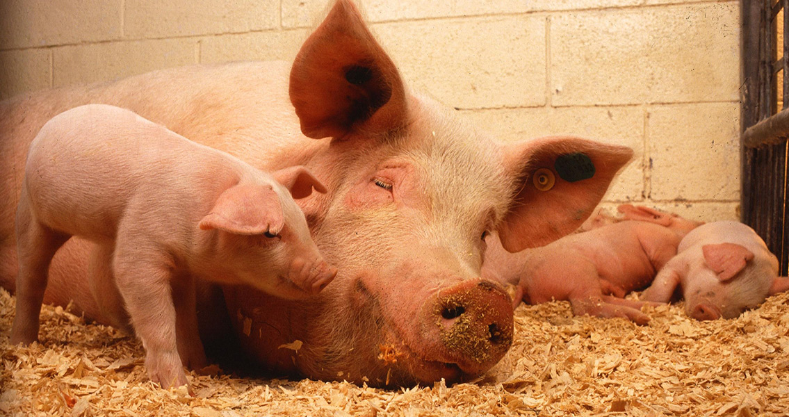 New Research Reveals Why Pig-Use in Middle East Declined