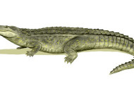 Late Miocene Caiman Had Strongest Jaws in History