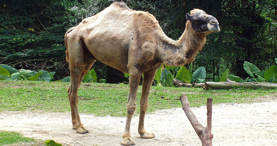 Remains of Ottoman Camel Found in Austria