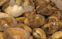 Ancient Americans Cultivated Clams