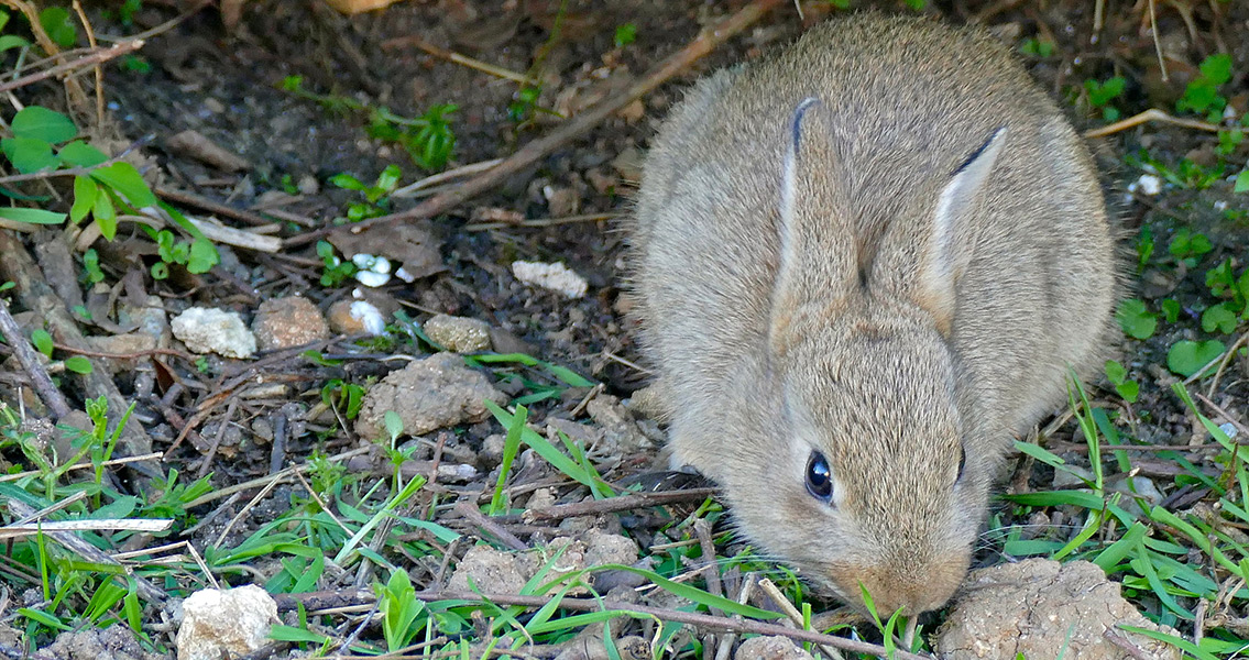 Rabbit-Hunting Helped Modern Humans Gain Upper Hand