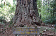 Tallest Tree in Muir Woods Not as Old as Originally Thought