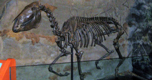 Horse Skeleton in South Florida Museum