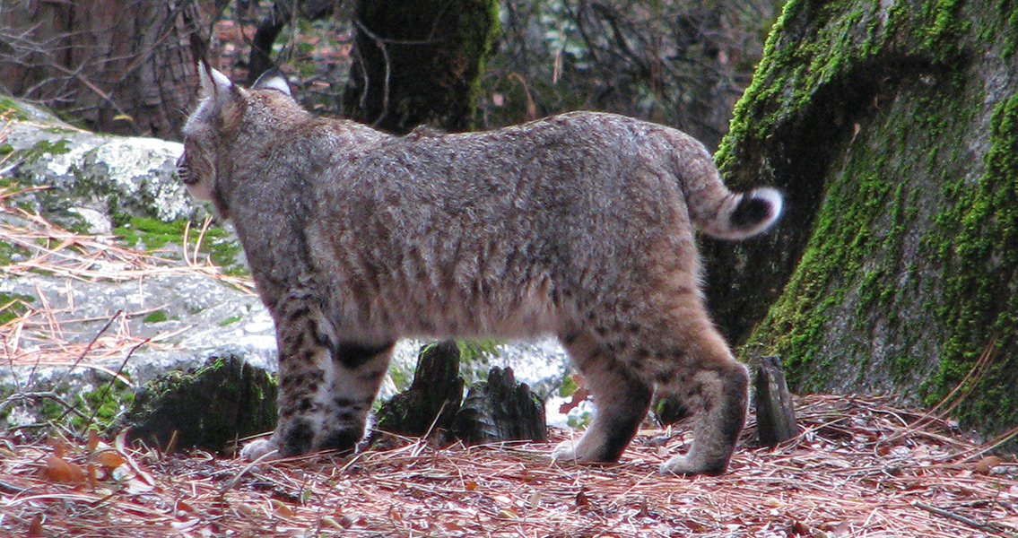 Ancient Bobcat Skeleton Found Buried with Humans