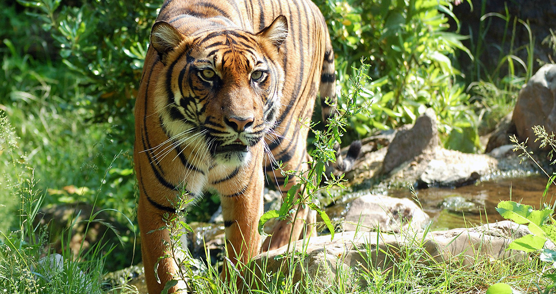 Tiger Hunting Strategy As Old As Tigers Themselves