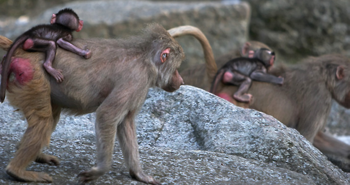 Ancient Monkey Fossil Could Be First Modern Baboon