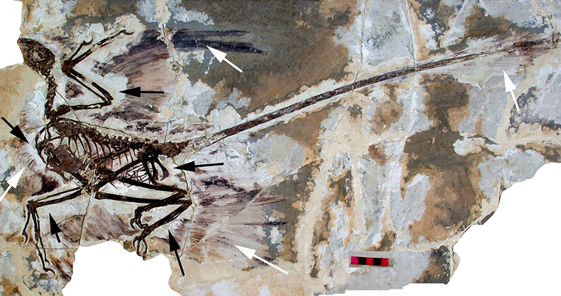 Largest Feathered Dinosaur Found in China