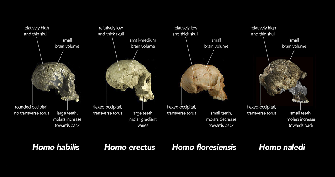 Newly Discovered Homo naledi Spurs Controversy