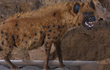 Competition from Hyenas Limited Humans' Spread in Europe