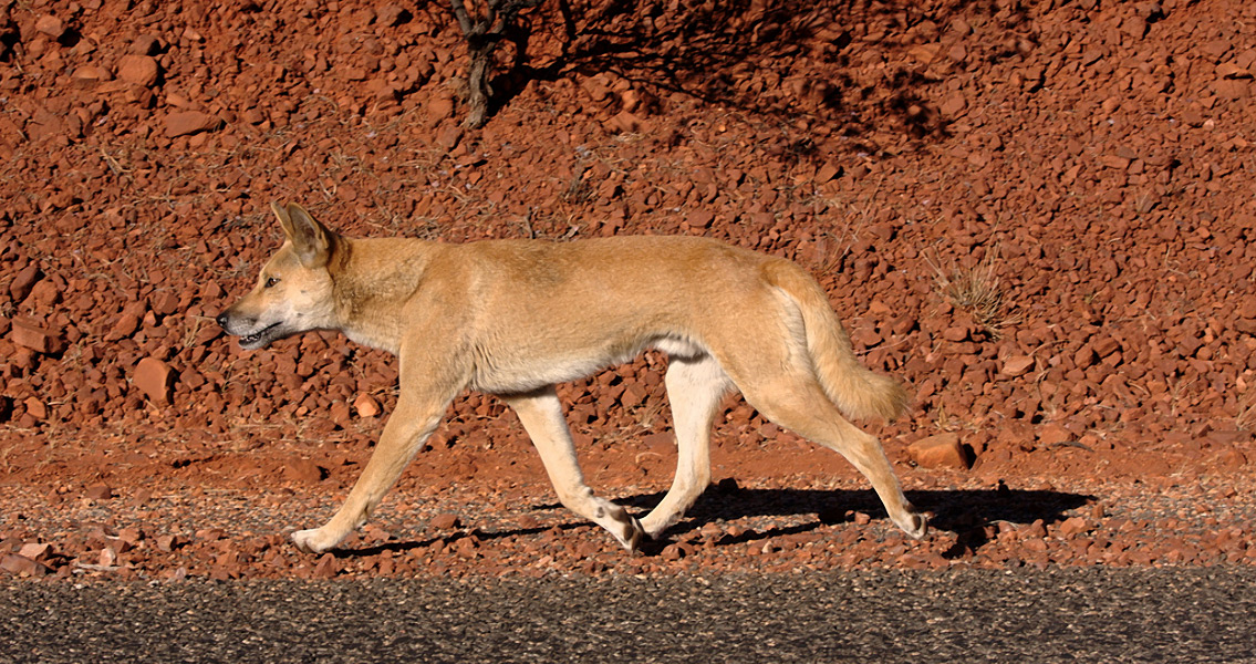 Female Aboriginal Hunters Worked With Dingoes
