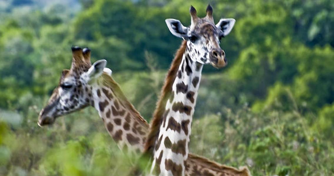 Study Finds How Giraffes Evolved Long Necks
