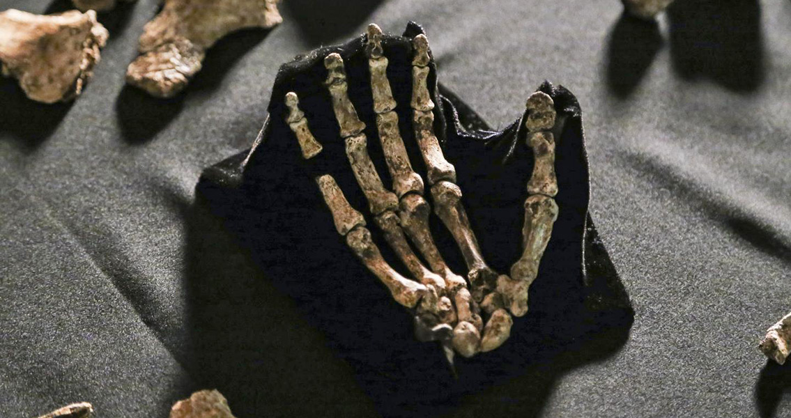 Homo naledi: Walker and Handyman