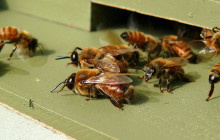 Bee Domestication Traced to The Stone Age