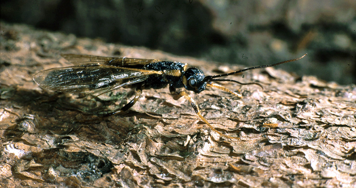 Discovery of Giant Wasp Opens Window to Ancient Forests