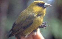 Rare Hawaiian Birds Face Extinction Without Immediate Action