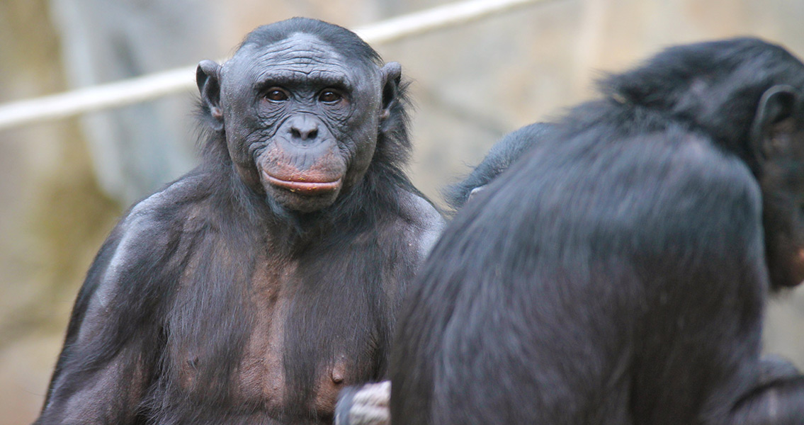 Bonobos Observed Using Tools