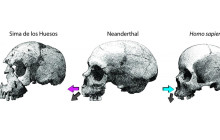 Neanderthal and Human Facial Growth Differences Revealed