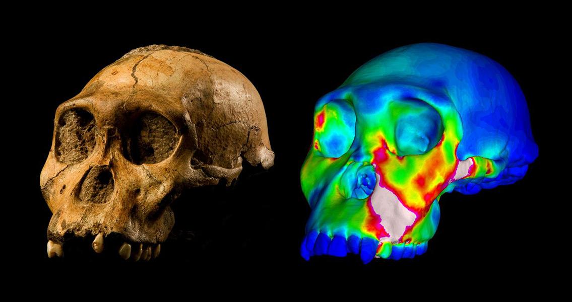 A.Sediba Likely Ate Similar Food to Homo Sapiens