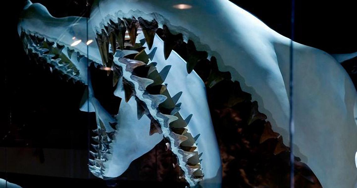 Jaw of a megalodon sideview (2)