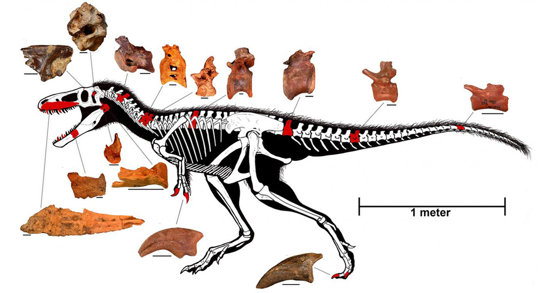 Origins of the T.rex: Brains Came Before Brawn