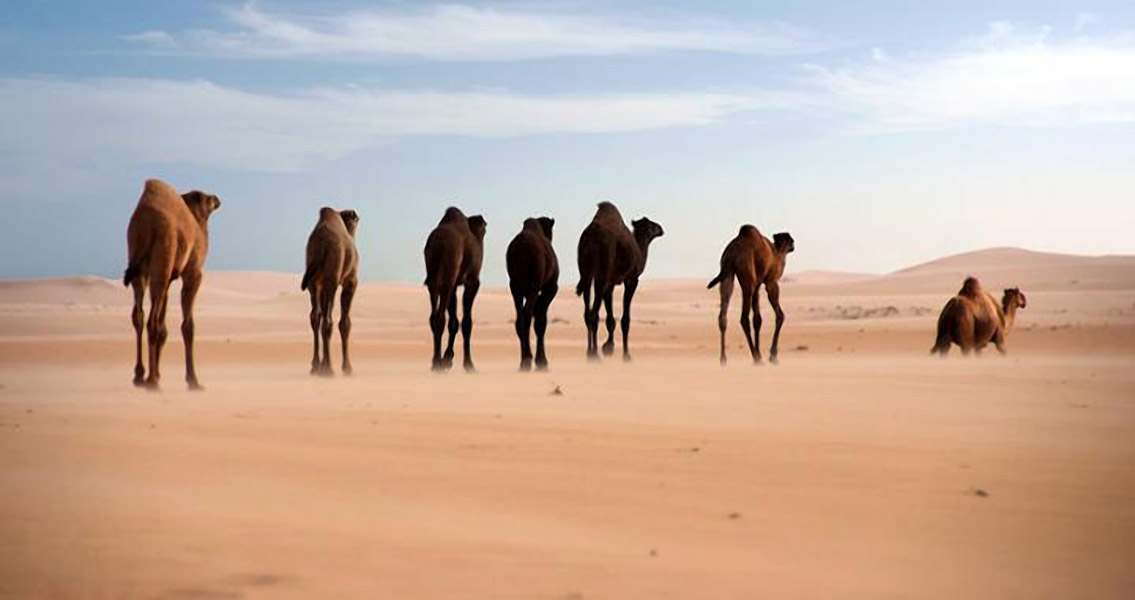 Genetic History of Dromedary Camel Explored in New Study