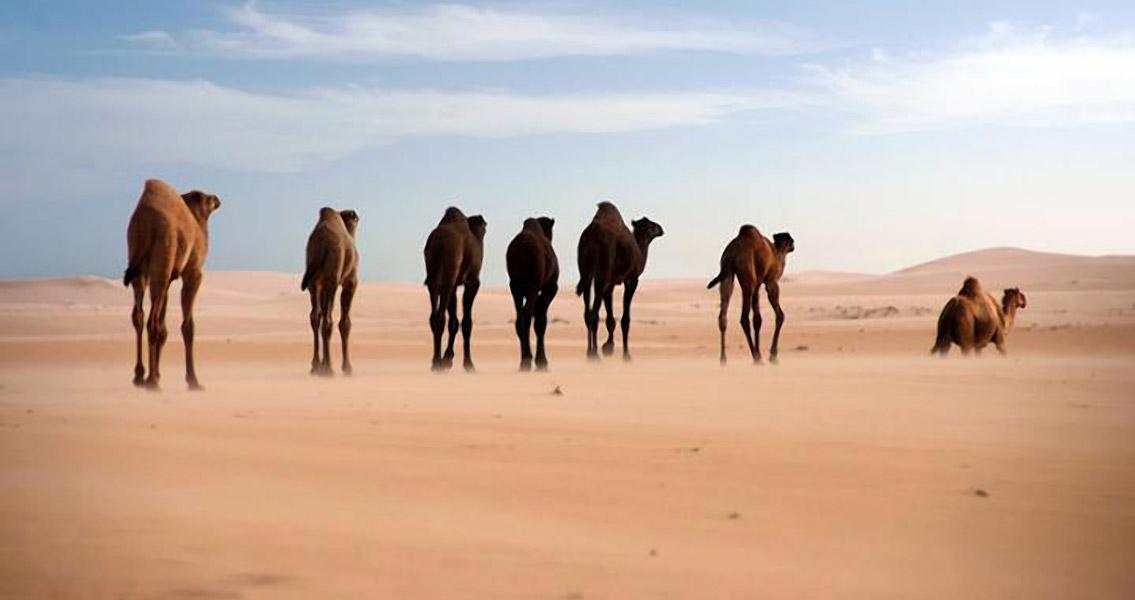 Genetic History of Dromedary Camel Explored in New Study
