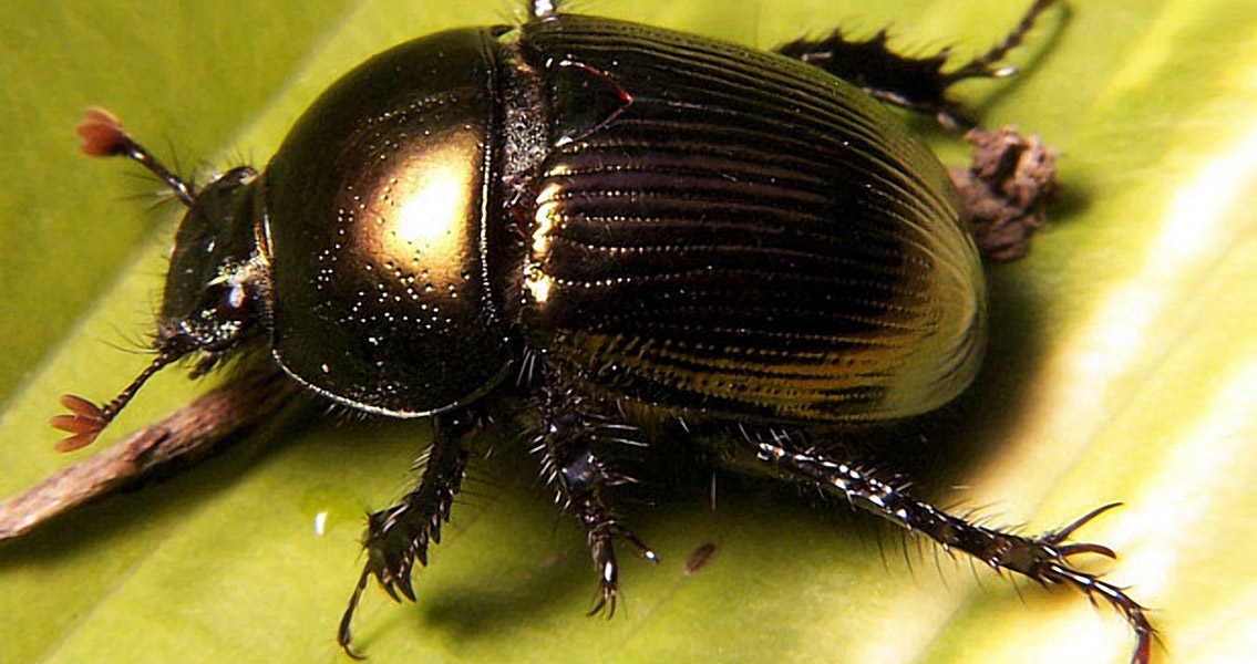 Dinosaurs Were an Important Resource for Dung Beetles