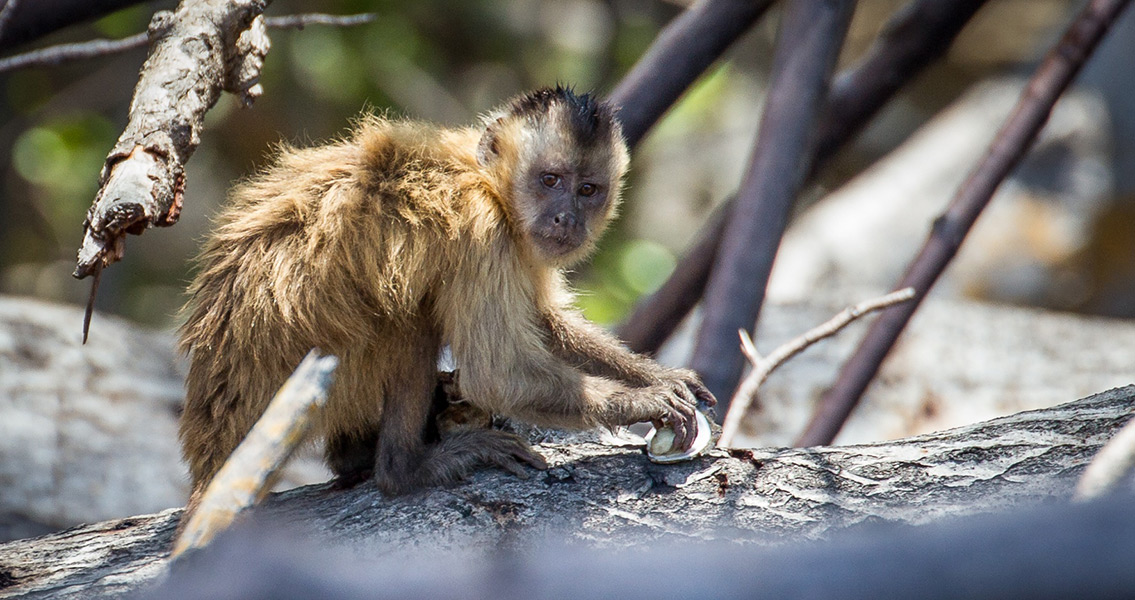 Beardy Monkey: Brazilian Monkeys May Have Long History Of Tool Use