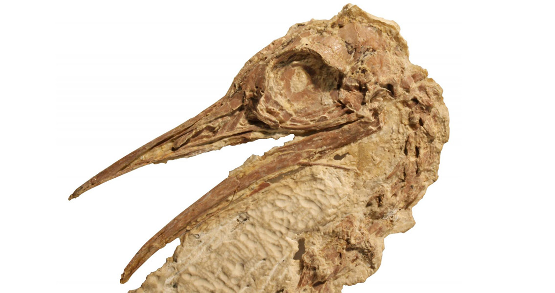 Fossils of 50 Million Year Old Ostrich Relative Discovered