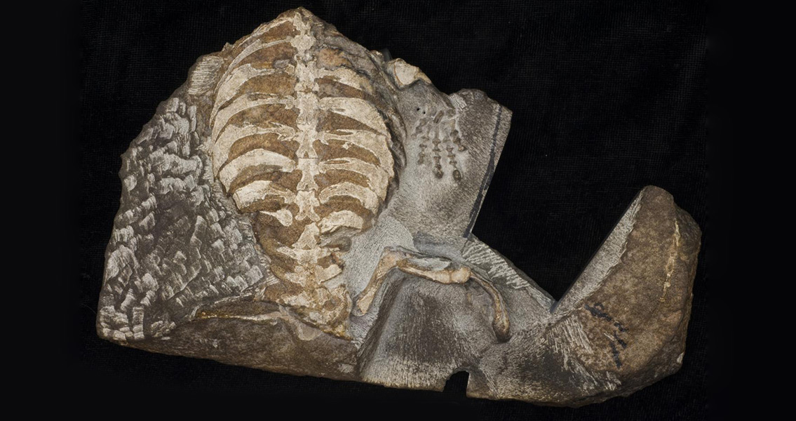 Origin of the Turtle Shell Solved With a Child's Help