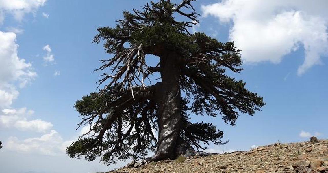 Oldest Known Living Tree in Europe Found in Greece