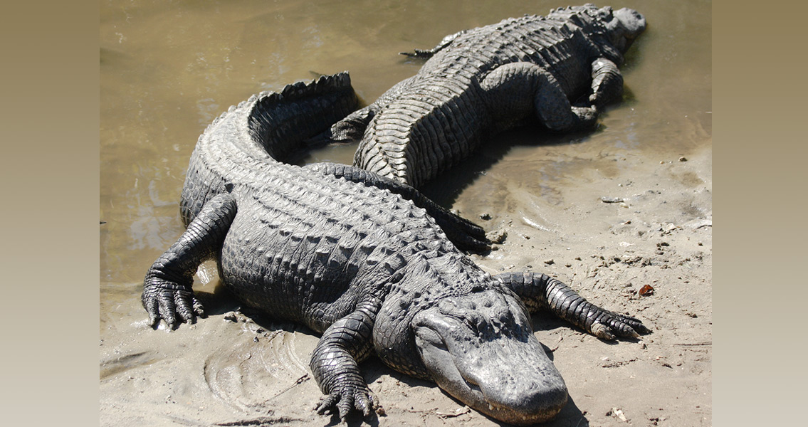 American Alligators are as Old as They Look
