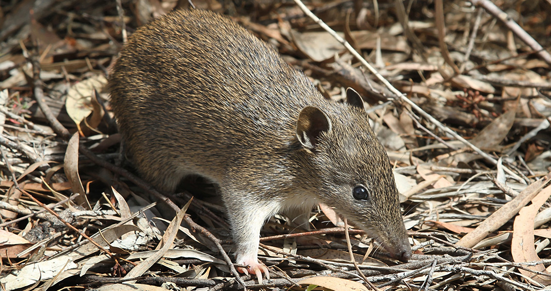 Bandicoot Fossils Show Marsupials were Ancient Survivors