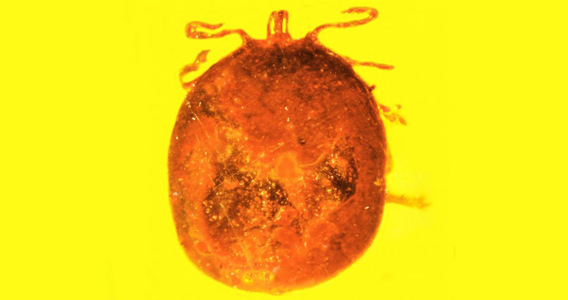 Ancient Tick Engorged with Mammal Blood Found Fossilized in Amber