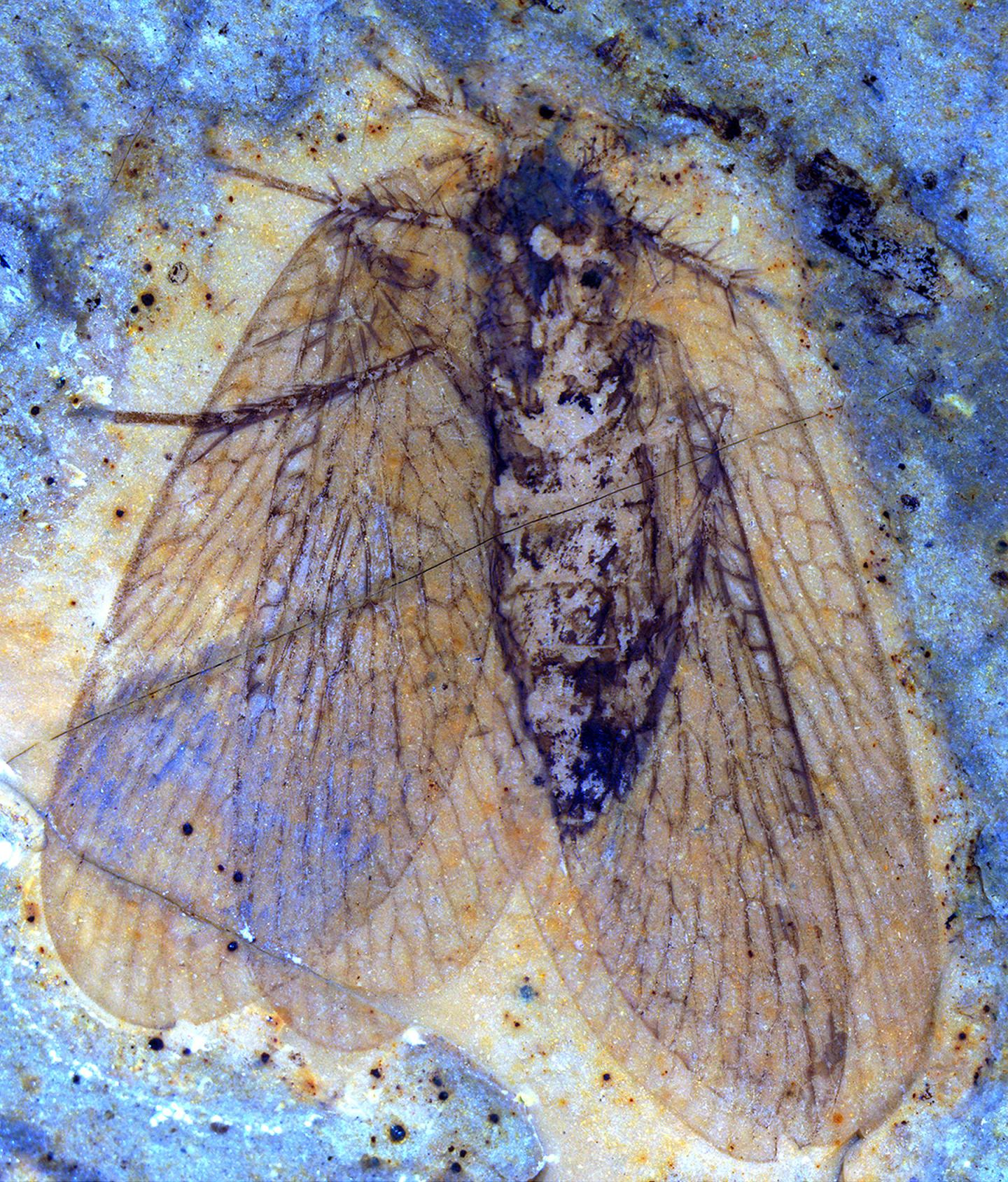 A New Species of Scorpionfly Fossil From 53 Million Years Ago at Mcabee, British Columbia